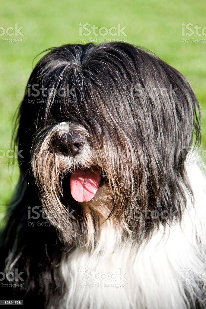 Polish Lowland Sheepdog royalty-free stock photo