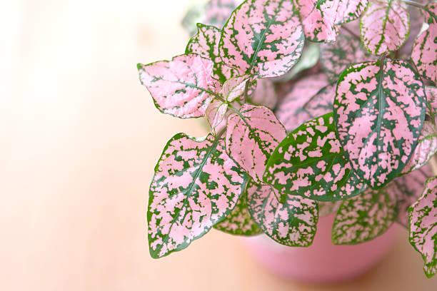Polka dot plant stock photo