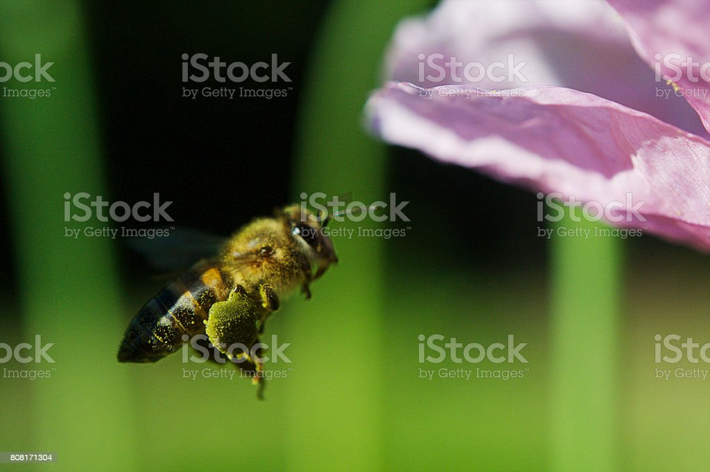 Pollen Basket Honey Bee stock photo