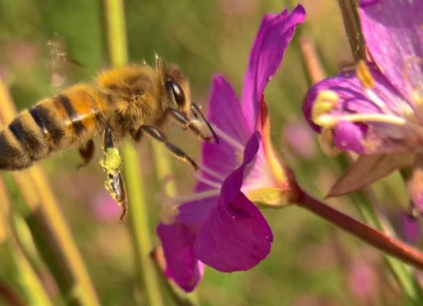Pollen sammeln – Foto