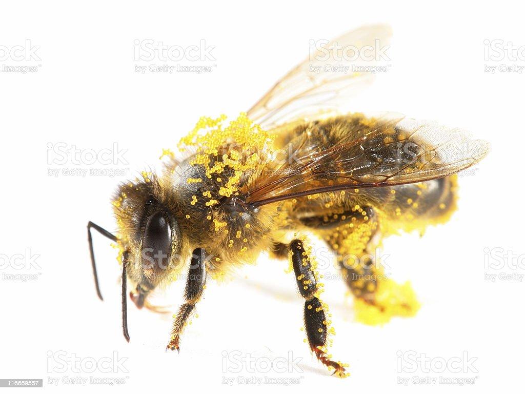 Pollen covered honeybee stock photo