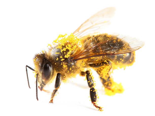 Pollen de honeybee - Photo