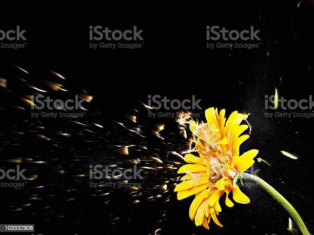 Pollen flying from yellow gerbera daisy picture id103332908?b=1&k=6&m=103332908&s=612x612&h=qbau9cdcos9uksczvnty1ujw0bg6ttbcq5sqwy2 cco=