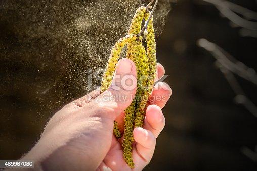 istock Pollen grain flying from birch tree catkins in spring season 469967080
