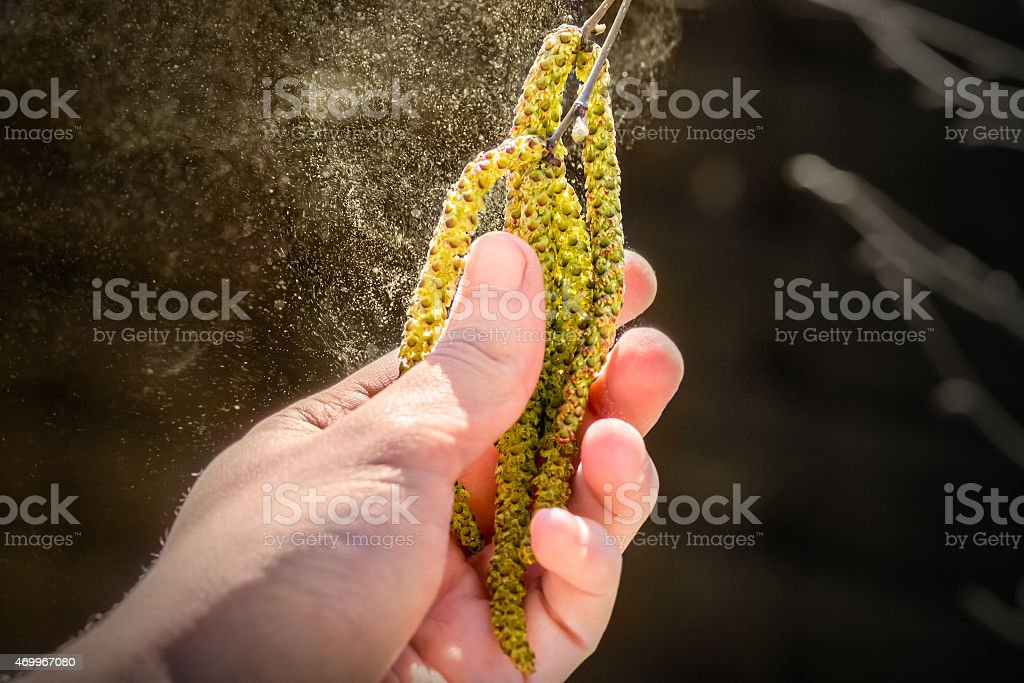 Pollen grain flying from birch tree catkins in spring season stock photo