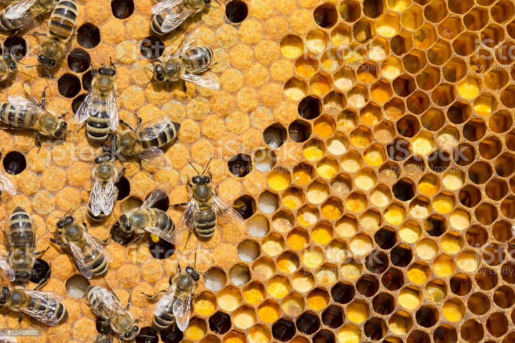 Pollen, larvae, cocoons, bees. - Photo