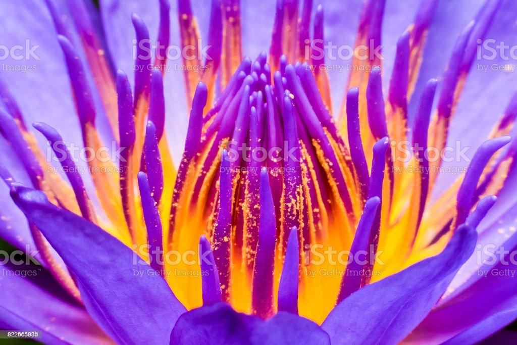 Pollen lotus close up stock photo