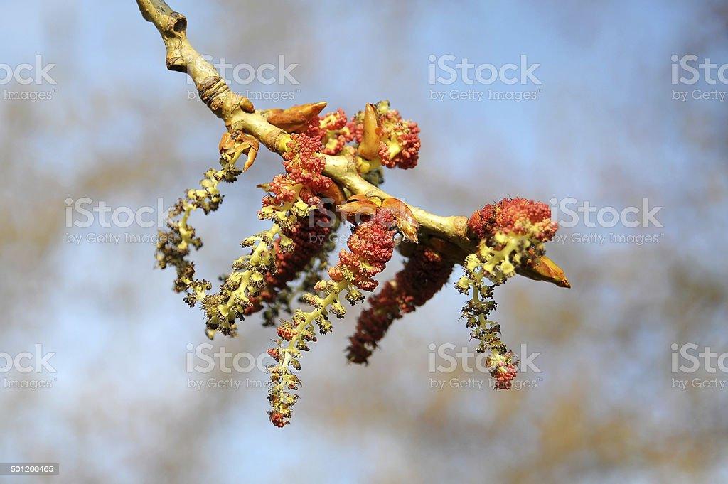 Pollen von alder Allergie lassen – Foto