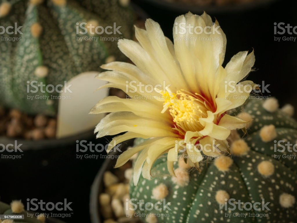 Pollen Of Yellow Cactus Flower Blooming Stock Photo More Pictures
