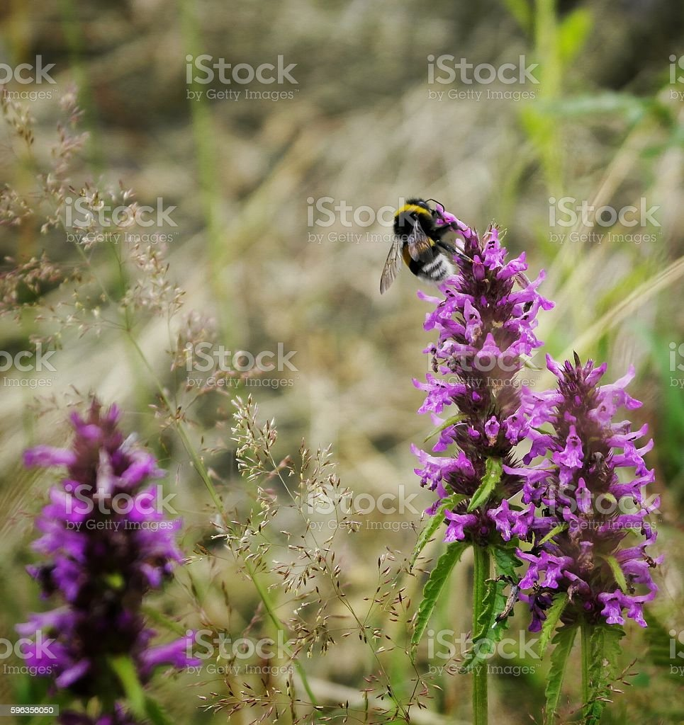 Pollen royalty-free stock photo