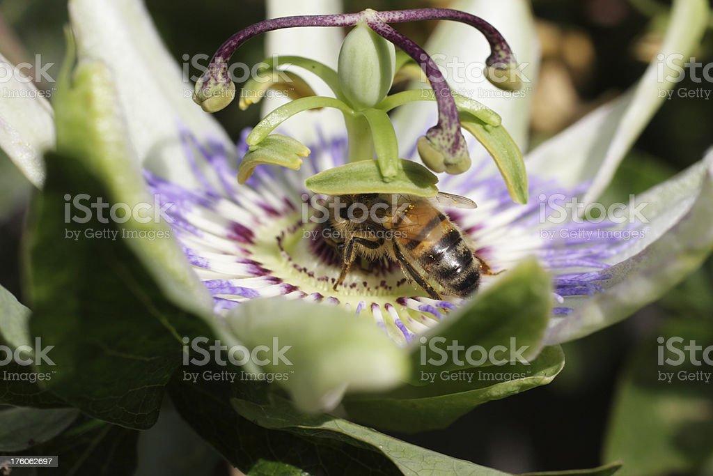 Pollinating honey bee embraces Passion flower Passiflora incarnata royalty-free stock photo