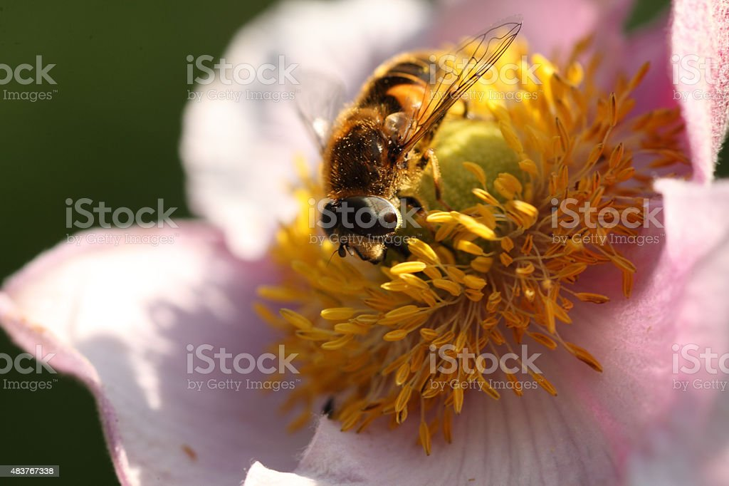 Pollinating hoverfly stock photo