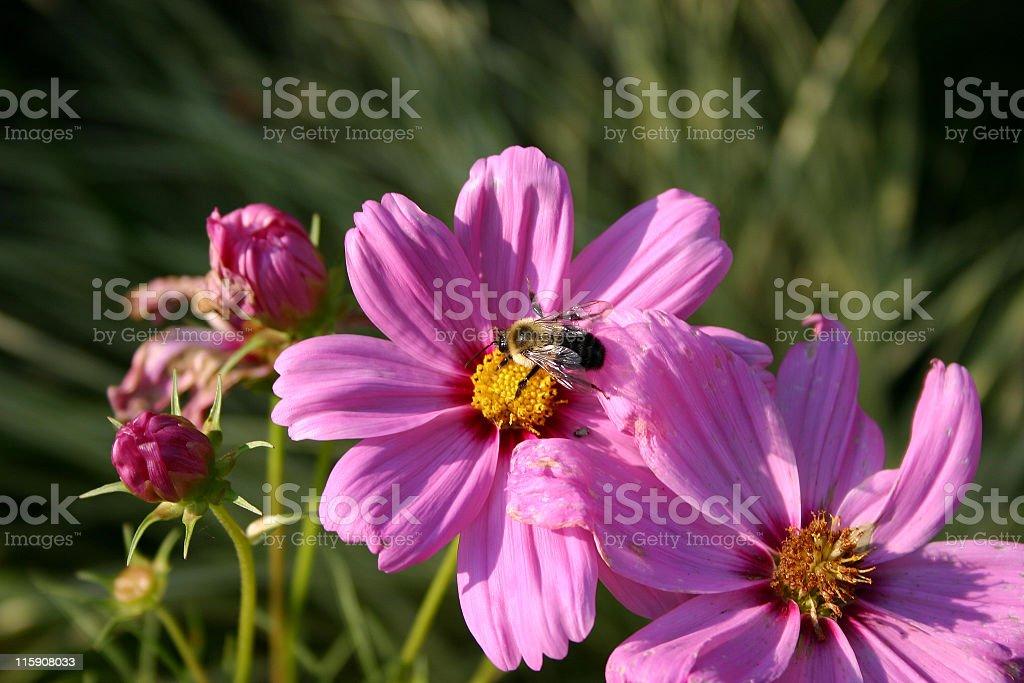 Pollinating royalty-free stock photo