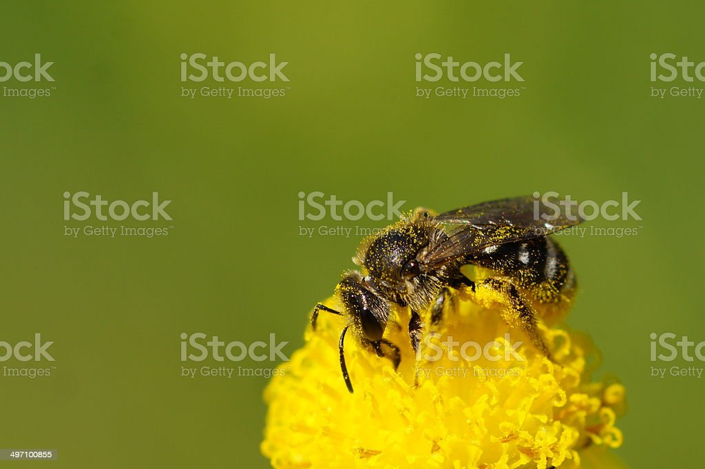 Pollinating royalty-free stock photo