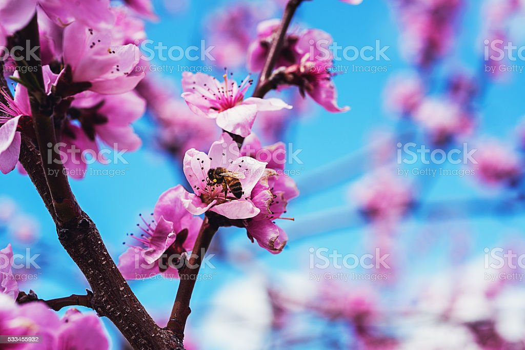 Pollinating the Apple Tree stock photo