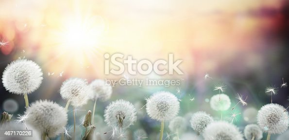 field of dandelion in sunset