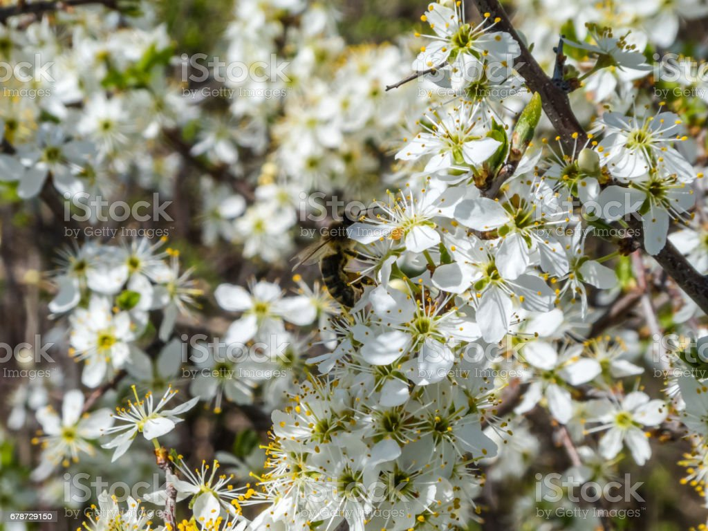 Pollination by bees of the flowers of the blackthorn photo libre de droits