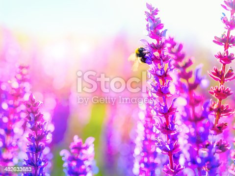 Cropped shot of a bee in a wild lavender field