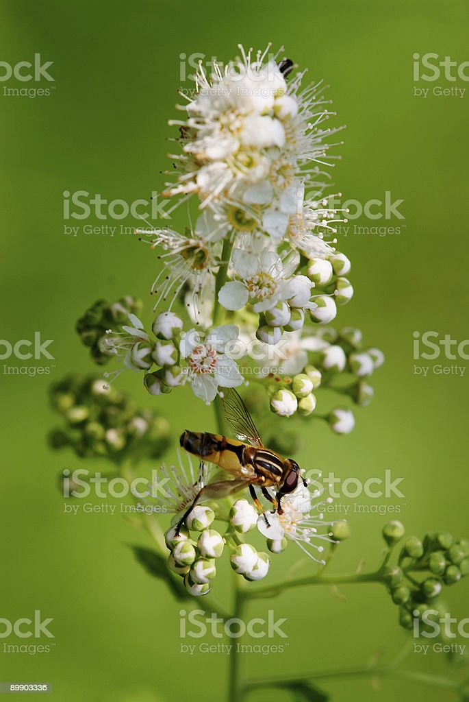 pollination of flowers by fly royalty-free stock photo