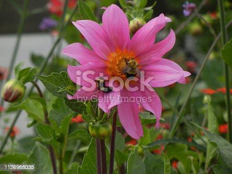 Pollinator - Bumbleebee on flower at Vermont Law School, South Royalton, VT
