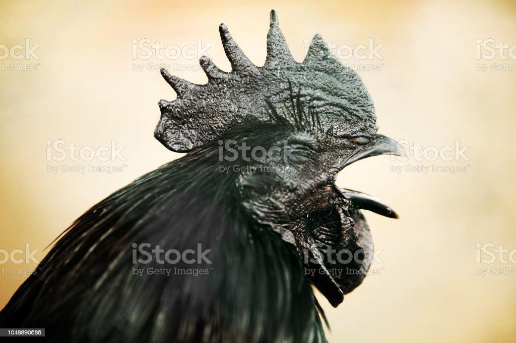 Pollo Ayam Cemani che canta - gallo nero - testa stock photo