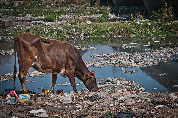 poluída rio banco, das vacas de alimentação do lixo, em katmandu, nepal - desperdício alimentar imagens e fotografias de stock