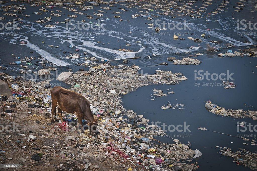 汚染バグマティ川にゴミ牛の牧草...