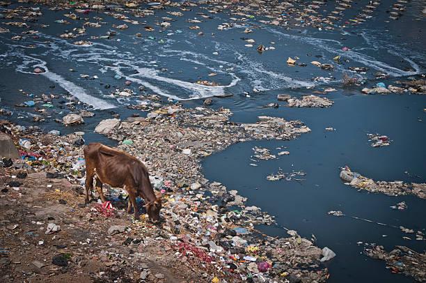 poluição, bagmatinepal_zones.kgm rio, vaca no pasto lixo, em katmandu, nepal - desperdício alimentar imagens e fotografias de stock