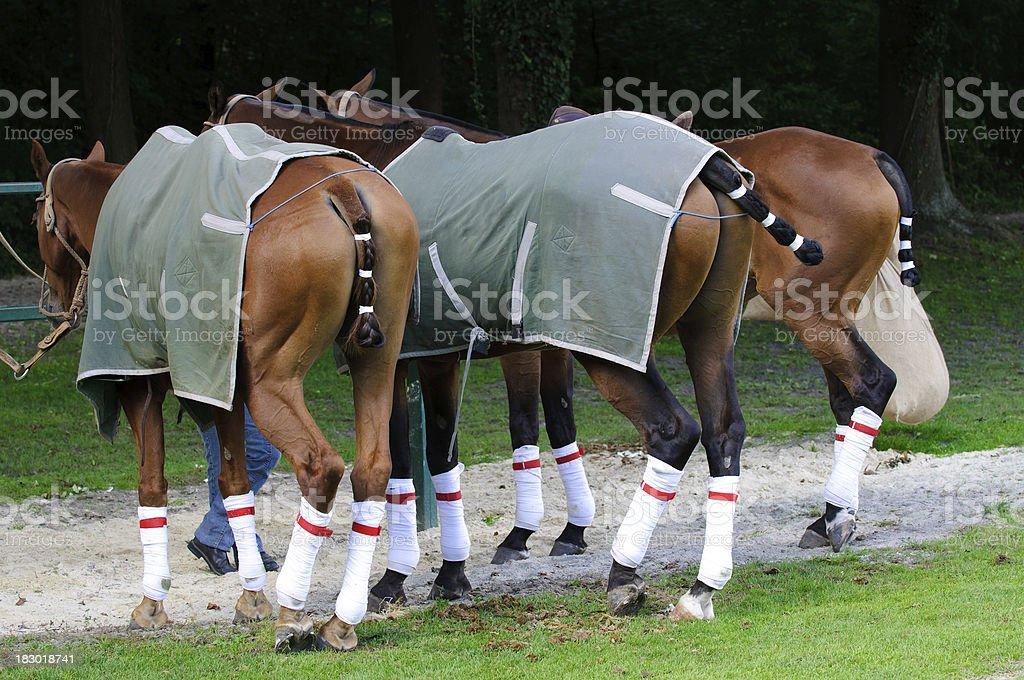 Polo horses heaving a break royalty-free stock photo
