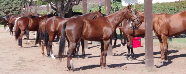 Polo Horses stock photo