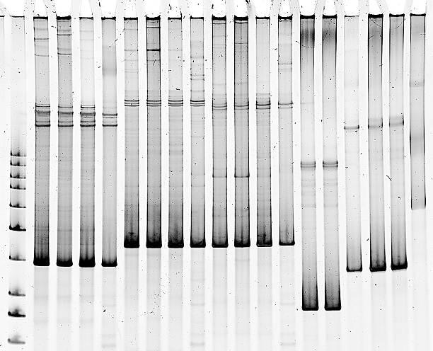 Polyacrylamide gel electrophoresis Mutation screening in polyacrylamide gel nucleotide stock pictures, royalty-free photos & images