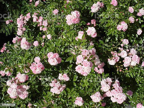 Polyantha rose light pink flowers the fairy picture id546465734?b=1&k=6&m=546465734&s=612x612&h=iwpbhyxsbjsre1mkght2lxhvx qnr5ltds95rawdzqk=