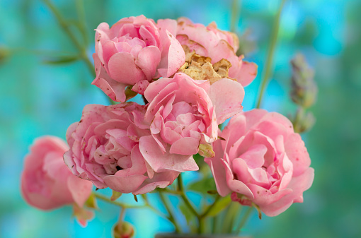 Polyantha rose pink flowers 'The Fairy' blue background.