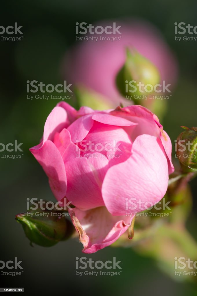Polyantha rose pink flowers 'The Fairy' dark background. Vertical. royalty-free stock photo