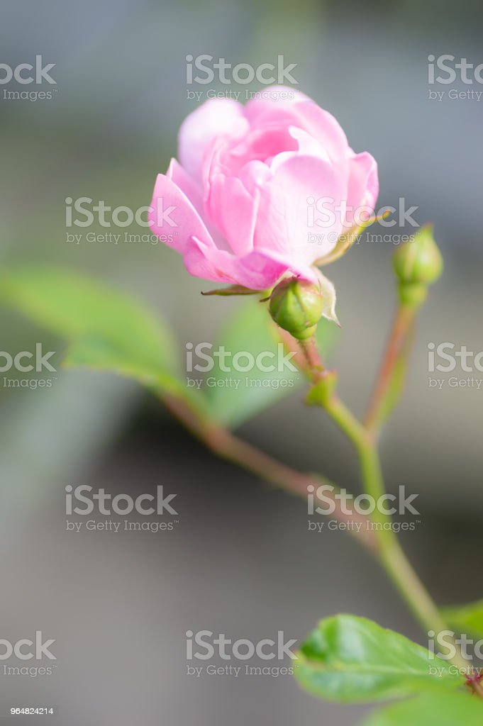 Polyantha rose 'The Fairy' single pink flower. Vertical. royalty-free stock photo
