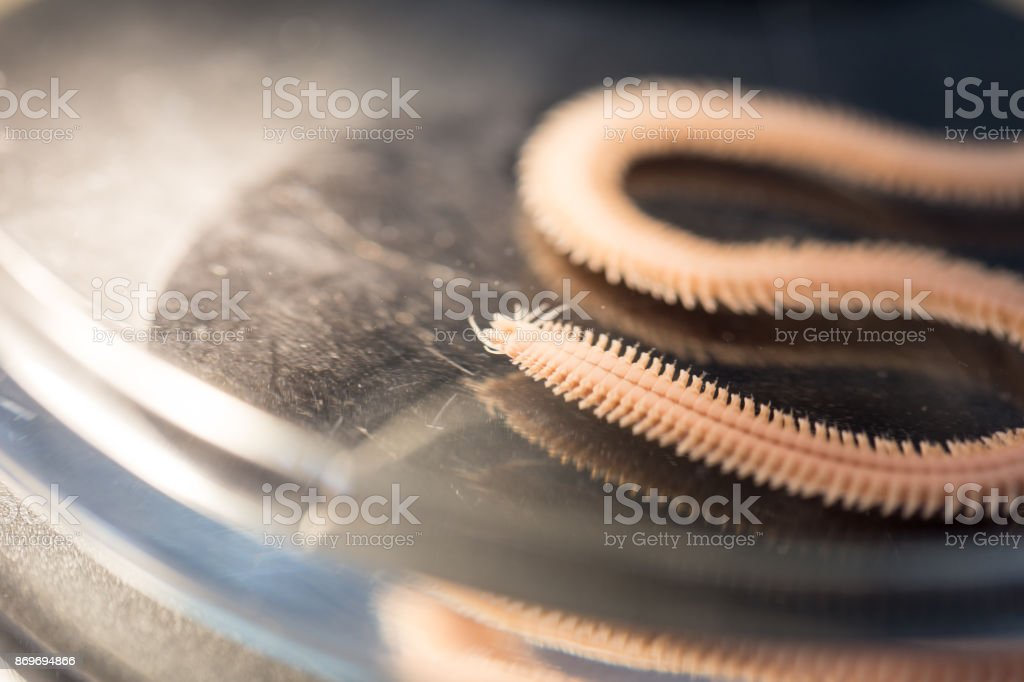 Polychaetes are a paraphyletic class of annelid worms, generally marine under the Stereo microscope view for education in laboratory. stock photo
