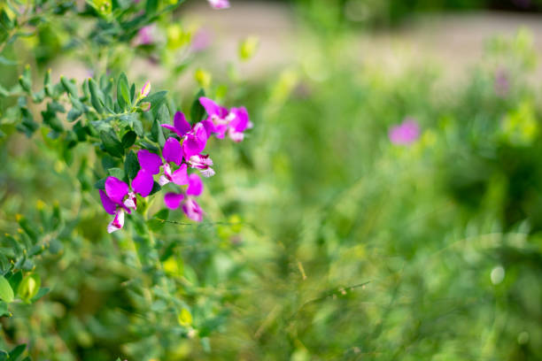 Polygala myrtifolia, milkwort, mytrle leaf bush stock photo