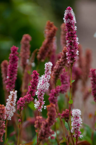 polygonum affine, knotweed, flowers close up - knotweed stock pictures, royalty-free photos & images