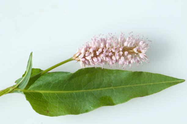 polygonum; bistorta - knotweed stock pictures, royalty-free photos & images
