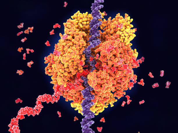 RNA polymerase II transcribes DNA to RNA stock photo