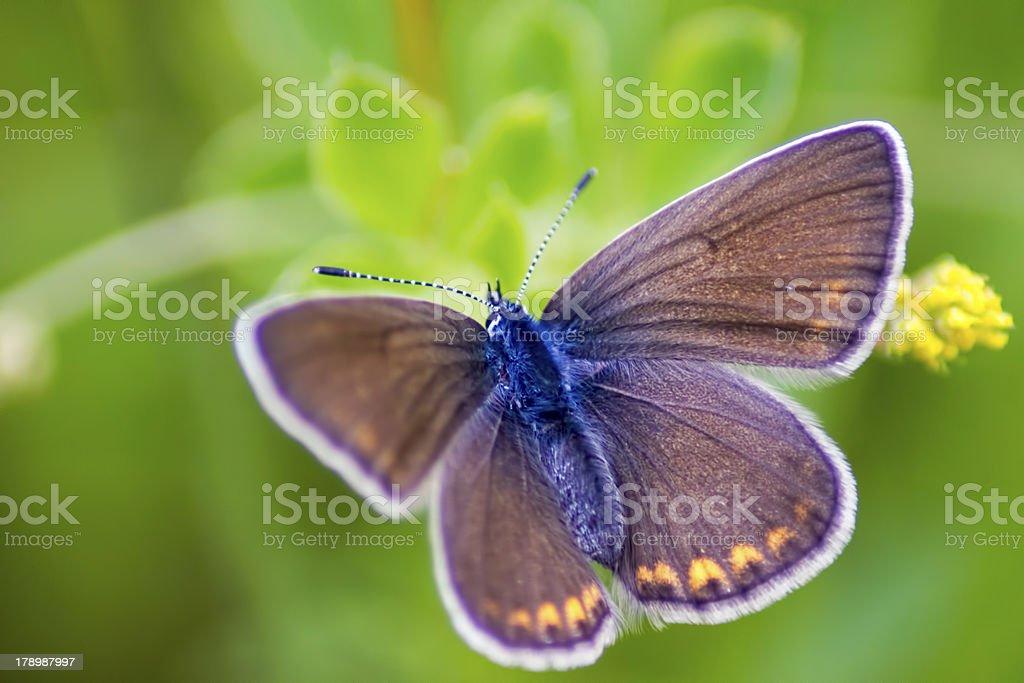 Polyommatus amandus Schneider royalty-free stock photo