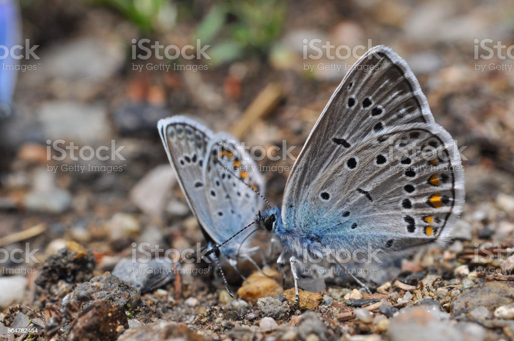 Polyommatus amandus, the Amanda's blue butterfly royalty-free stock photo