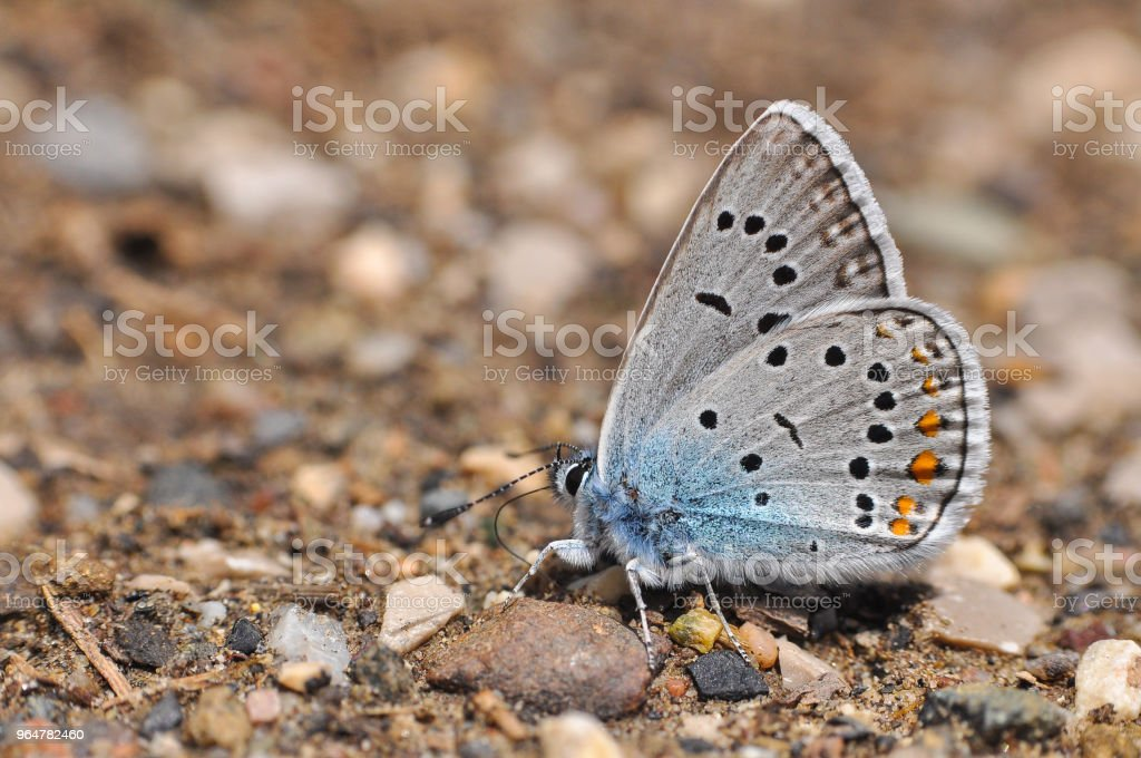 Polyommatus amandus, the Amanda's blue butterfly royalty-free stock photo