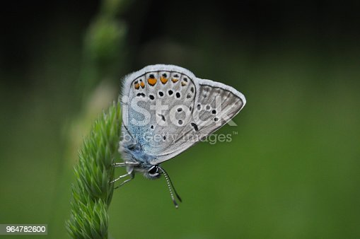 Polyommatus Amandus The Amandas Blue Butterfly Stock Photo & More Pictures of Animal