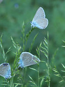 istock Polyommatus coridon is planted in green grass. 1141299586