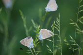 istock Polyommatus coridon is planted in green grass. 1141299631