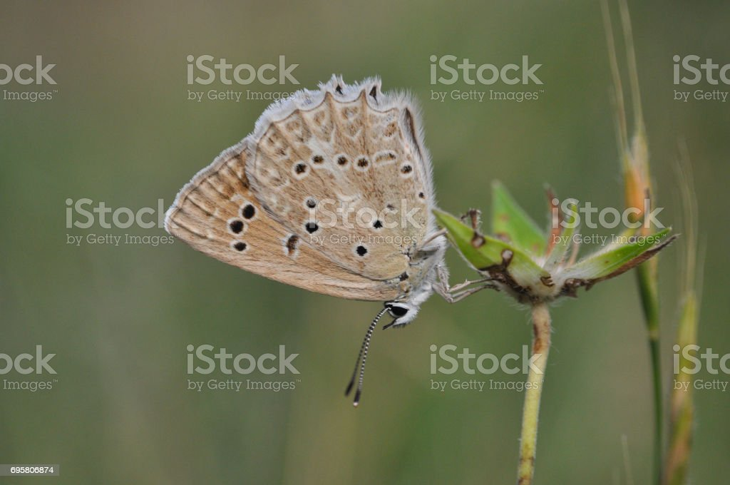 Polyommatus daphnis, the Meleager's blue,  is a butterfly of the Lycaenidae family. stock photo