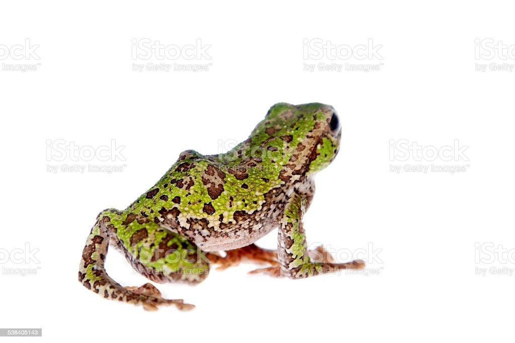 Polypedates Duboisi Flying Tree Frog On White Stock Photo