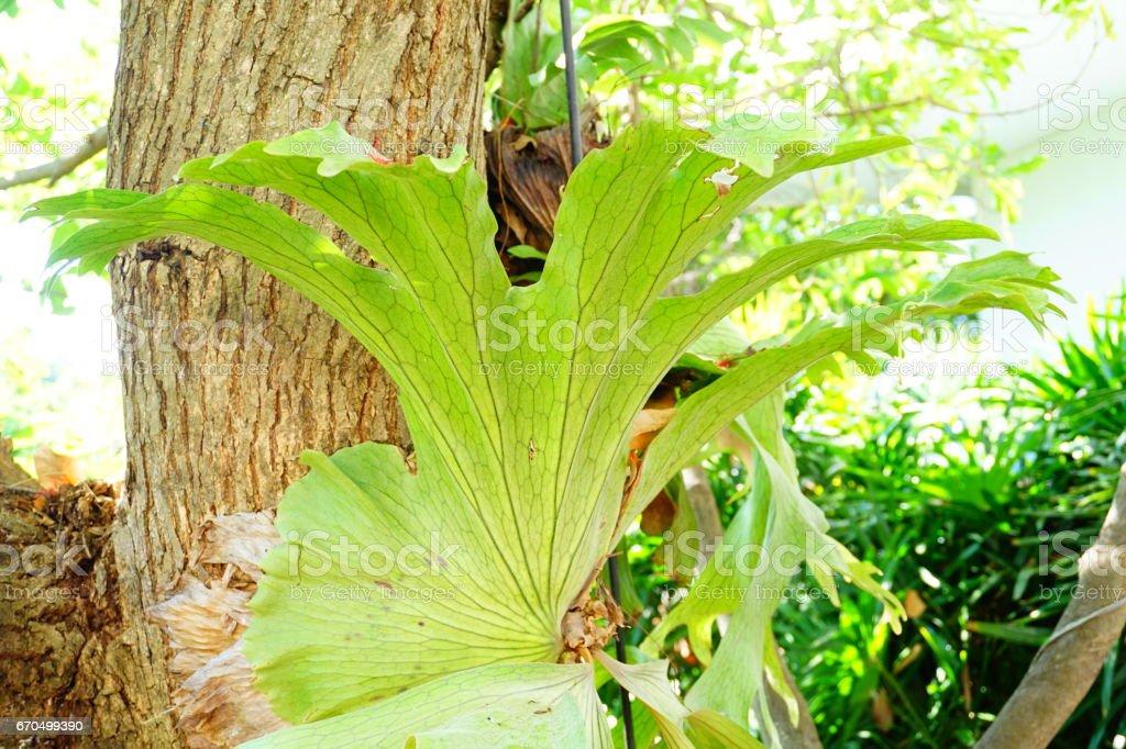Polypodium polycarpon leaf stock photo