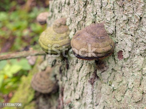 Polypore on an old tree trunk in the forest